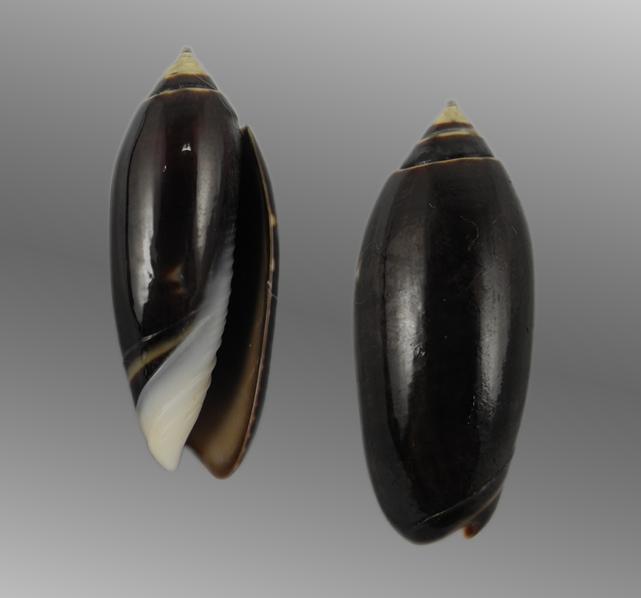 Oliva oliva f. oriola