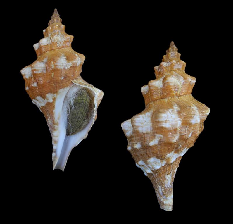 Aurantilaria aurantiaca (Golden horse conch)