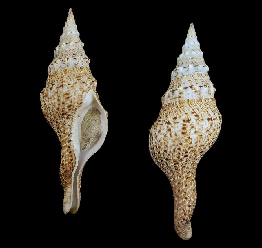 Fusinus brianoi