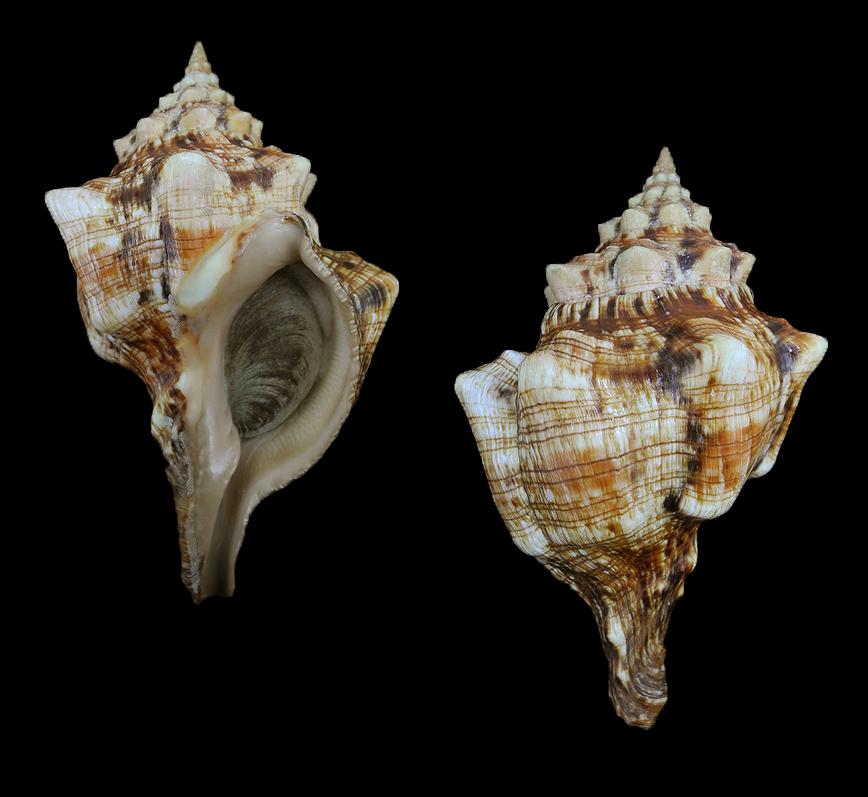 Pleuroploca clava (Persian horse conch)