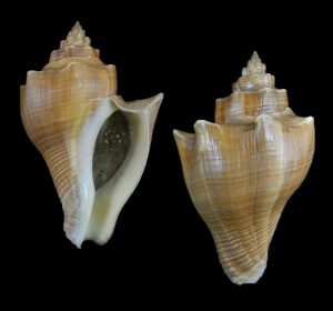Pugilina cochlidium (Winding stair shell)