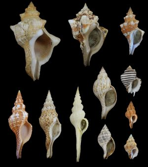 Fasciolariidae (Tulip snails and spindle shells)