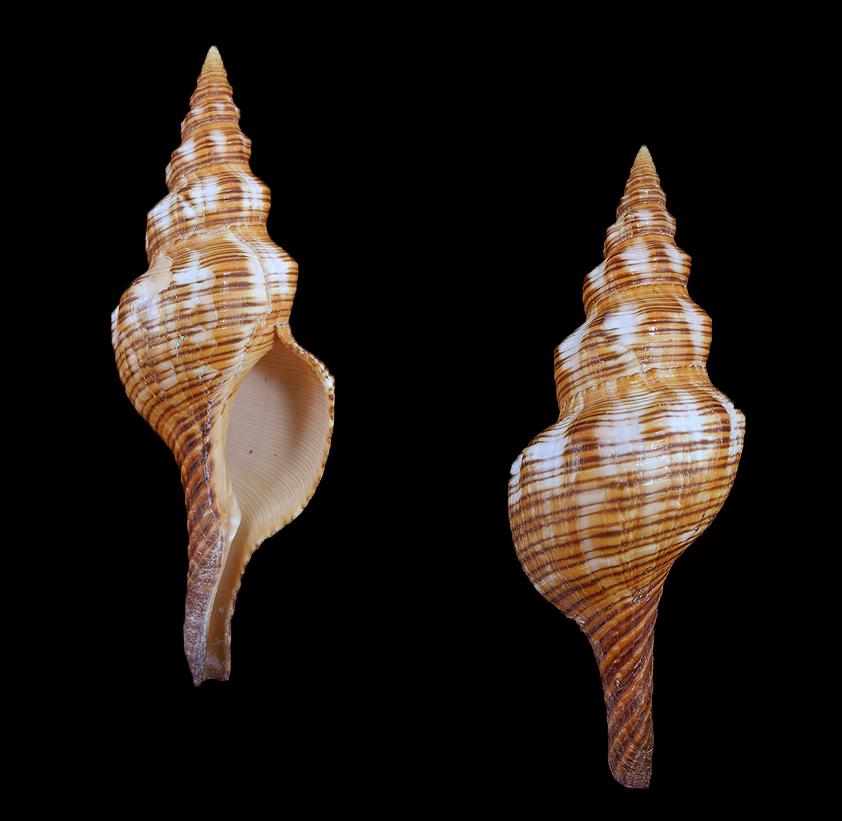 Filifusus filamentosus (Threaded band shell)