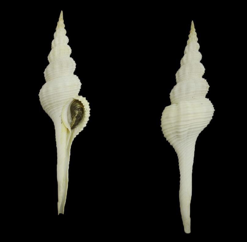 Fusinus forceps (Forceps spindle)