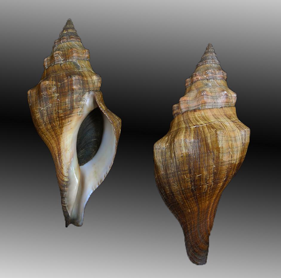 Pleuroploca lyonsi