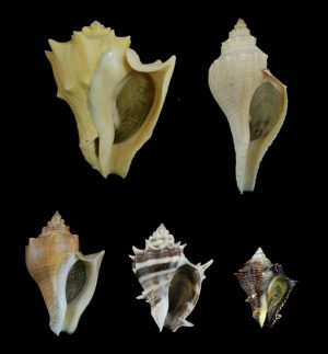 Melongenidae (Crown conchs)