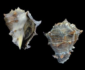 Volema myristica (Heavy crown conch)