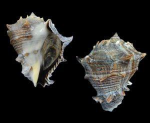 Volema myristica (Heavy crown conch)