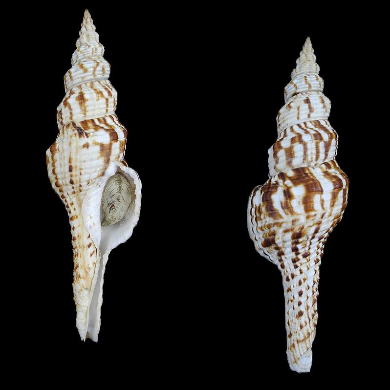 Marmarofusus nicobaricus (Nicobar spindle)