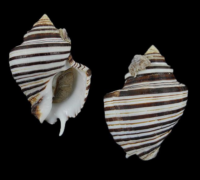 Opeatostoma pseudodon (Thorn tooth latirus)