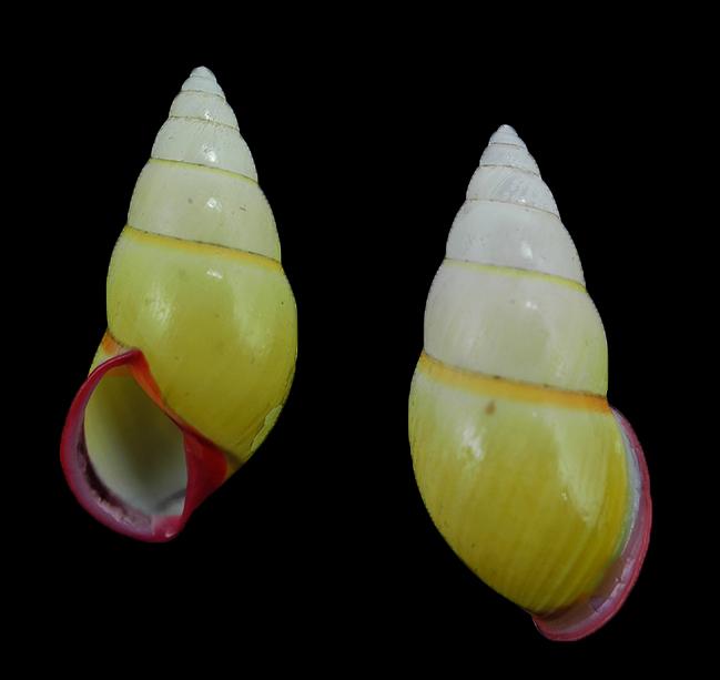 Amphidromus cruentatus