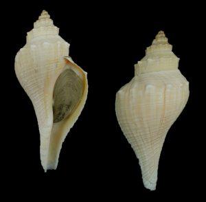 Hemifusus tuba (Tuba false fusus)