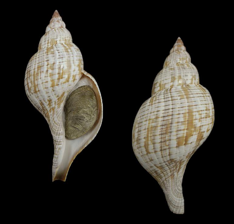 Fasciolaria tulipa (True tulip)