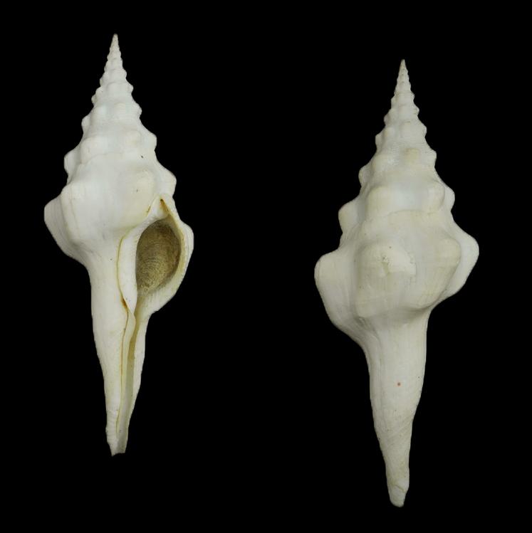 Fusinus undatus (Wavy spindle)
