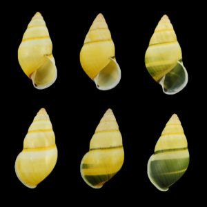 Amphidromus arlingi daklakensis