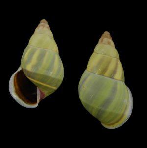 Amphidromus angulatus