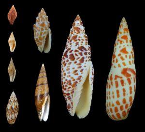 Mitridae (Miter shells)
