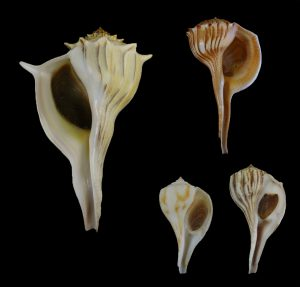 Busyconidae (Whelks)