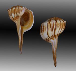 Busycoarctum coarctatum (Turnip whelk)