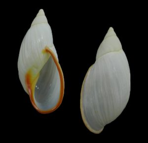 Bothriembryontidae