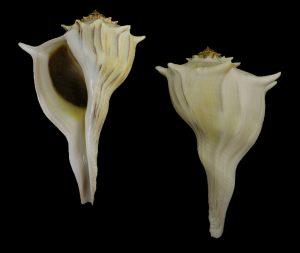 Sinistrofulgur perversum ( Lightning whelk)