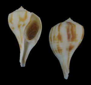 Fulguropsis spirata (Pear whelk)