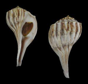 Fulguropsis texanus (Texan pear whelk)