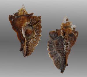 Pterochelus triformis (Triangle murex)