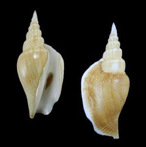 Doxander vittatus (Vitate conch)