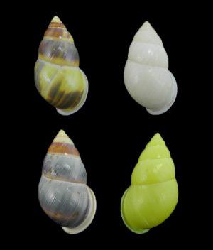 Amphidromus jeffabbasorum