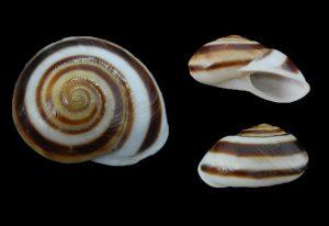 Acavidae (Lustful snails)