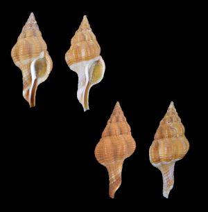 Fusolatirus pearsoni