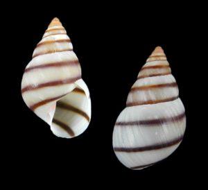 Rhachis tulearensis
