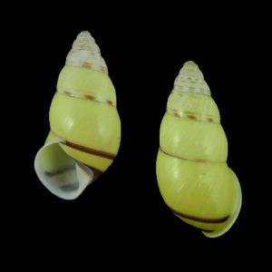 Amphidromus truongkhoai