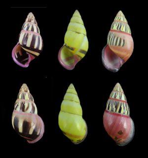 Amphidromus anthonyabotti