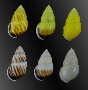 Amphidromus perversus borneensis