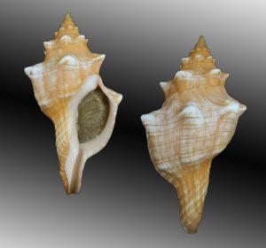 Pleuroploca trapezium (Trapezium horse conch)