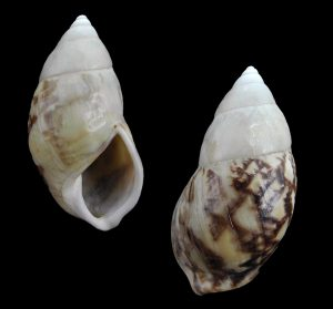 Amphidromus bulowi bulowi