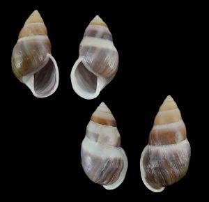 Amphidromus ingens