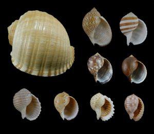 Tonnidae (Tun shells)