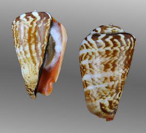 Conomurex luhuanus (Strawberry conch)