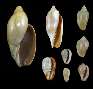 Marginellidae (Margin shells)