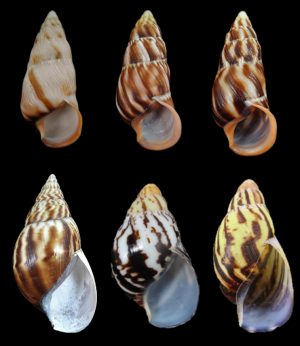 Achatinidae