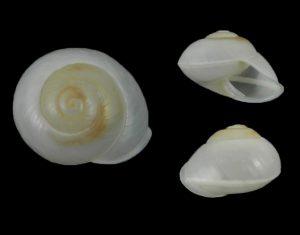 Crystallopsis crystallina