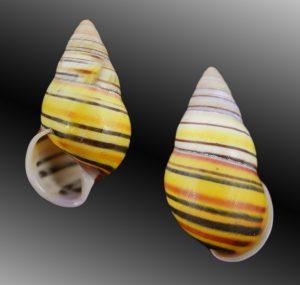 Amphidromus laevus janetabbasae