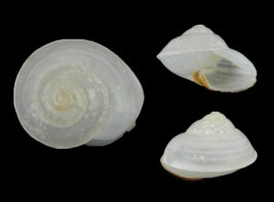 Crystallopsis tricolor