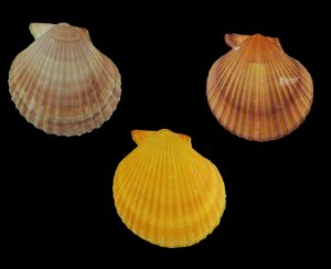 Mimachlamys asperrima (Doughboy scallop)