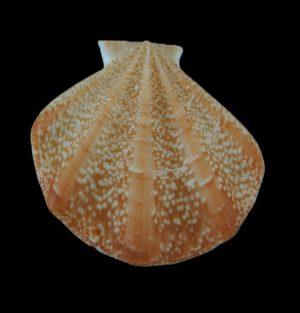 Pseudamussium clavatum (Club scallop)
