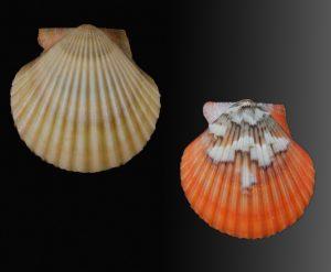 Aequipecten flabellum (African fan scallop)