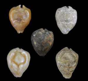 Fossil mollusks